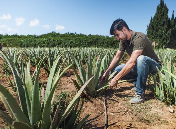 cesar_aloe_vera_plantacion Ibizaloe