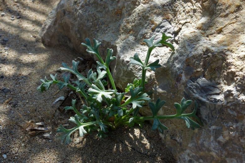 benirras-echinophora-spinosa