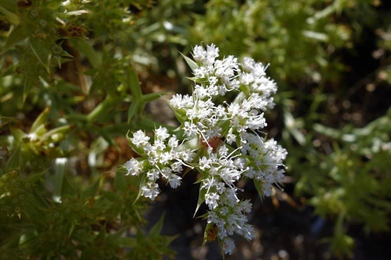 echinophora-spinosa-Inflorescencies