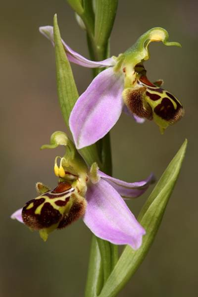 orquidea-ibiza-botanico